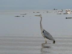 Grey heron (Linda DV) Tags: africa travel canon geotagged ardeacinerea ethiopia 2010 greyheron lakechamo powershots5is nechisarnationalpark lindadevolder crocodilemarket