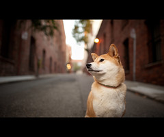 The Suki Pose (kaoni701) Tags: sf sanfrancisco city portrait urban dog cute brick project puppy japanese nikon bokeh 14 24mm nikkor suki shibainu cls shibaken  f14g d700 52weeksfordogs