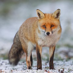 Red Fox (Charlie Sargent..) Tags: pictures nature animals canon countryside ngc foxes staffordshire soe cannockchase canon70200f28 distinguished 1dmk2 nw10 supershot allrightsreserved magicofnature canon500f4 specanimal colorphotoaward naturesgreenpeace mothernaturesgreenearth onlythebestofnature amazingwildlifephotography 5wonderwall