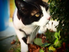 moomoo, the neighbour's cat (fotobananas) Tags: colors pen cat olympus explore neighbourhood moomoo ep1 explored fotobananas clichesaturday