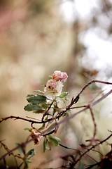~ (NicaMom) Tags: nikon bokeh d40 littlepinkflowers natureinwinter