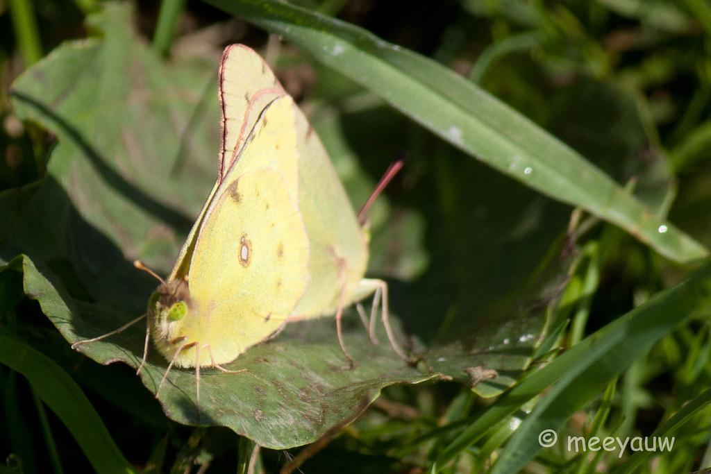 clouded sulphur butterfly  21.jpg