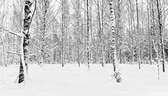 V a l k o i n e n (Aspiriini) Tags: winter snow forest koivu birch lumi talvi mets koivut jonilehto aspiriini