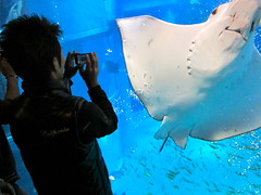 Smile! (kevin dooley) Tags: camera fish water smile japan canon pose aquarium agua aqua photographer tank picture powershot osaka picturetaker s95 stongray