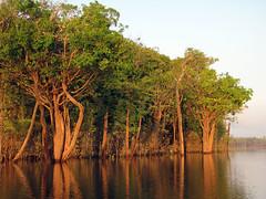 Rio Urubu Early Morning (treegrow) Tags: brazil plant nature amazon urubu angiosperms lifeonearth canonpowershotsx10is