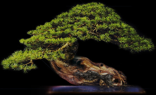 """Bonsai050 • <a style=""""font-size:0.8em;"""" href=""""http://www.flickr.com/photos/30735181@N00/5261336103/"""" target=""""_blank"""">View on Flickr</a>"""