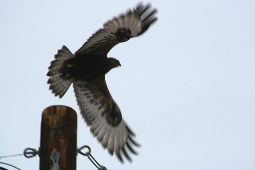 Dark Phase Rough-legged Hawk
