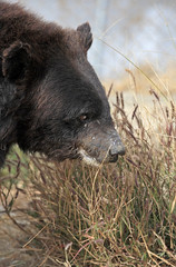 Chowti timidly explores her new home (WSPA Canada) Tags: bear new food home up female nose doors blind time outdoor pictured structures her give used using explore smell brc were after safe forced sniffing took trade period refused baiting sticking borders alternative owner quarantine asiatic enclosure sense herself opened confiscate coaxed timidly chowti liveihood familiarise