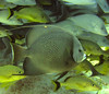 """Gray Angelfish with Grunts • <a style=""""font-size:0.8em;"""" href=""""http://www.flickr.com/photos/45090383@N06/5272008388/"""" target=""""_blank"""">View on Flickr</a>"""