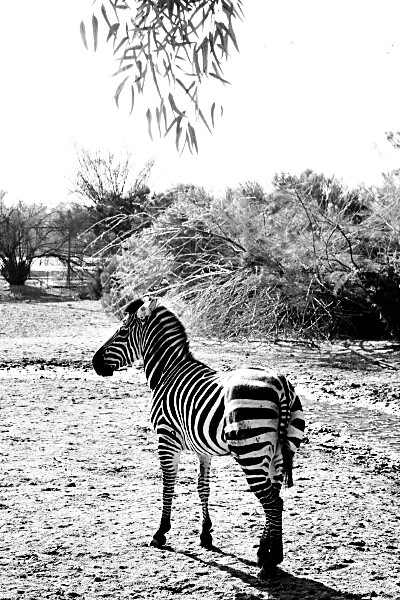 Zebra at the Wildlife World Zoo