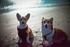 old friend (moaan) Tags: leica dog beach reunion smile smiling digital 50mm corgi friend warm dof bokeh f10 calm shore utata ripples noctilux roby welshcorgi shonan 2010 m9 glisten  chigasaki  pochiko leicanoctilux50mmf10 leicam9 wavlets gettyimagesjapanq1 gettyimagesjapanq2
