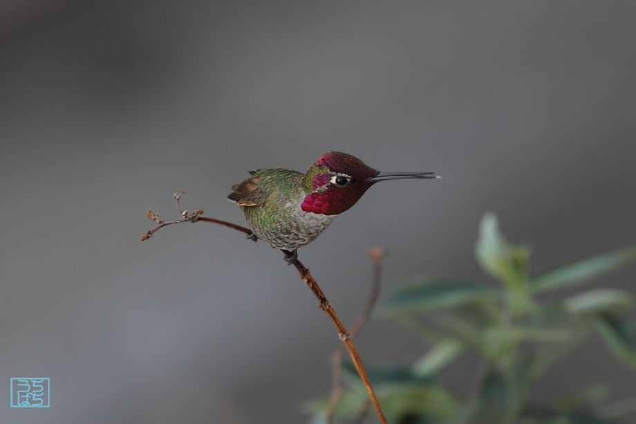 Anna's Hummingbird 121510-2