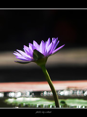 water lily flower in the morning sunshine (e.nhan) Tags: flowers flower nature water closeup landscape colorful colours dof lily bokeh enhan mywinners colorphotoaward