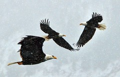 Flying Down Santa Claus Lane (Deby Dixon) Tags: nature photography inflight nikon wildlife idaho eagles deby coeurdalene allrightsreserved 2010 baldeagles naturephotographer debydixon debydixonphotography