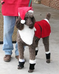 reindeer poodle (Vicki's Nature) Tags: christmas red dog pet canon reindeer salvationarmy kettle poodle s5 cgpet vickisnature getmedal drtomearley annearley 15challengespet yourockholidayseason