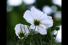 white cosmos flower - bokeh (e.nhan) Tags: flowers white flower nature closeup daisies landscape colorful colours dof bokeh daisy cosmos enhan mywinners colorphotoaward