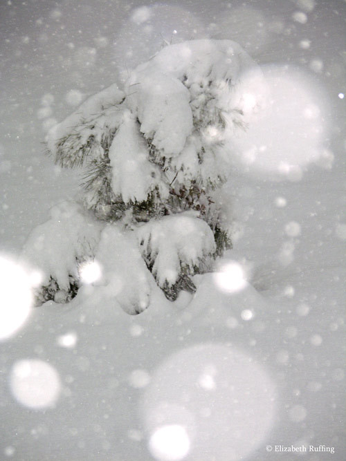 Little pine tree sagging under the snow