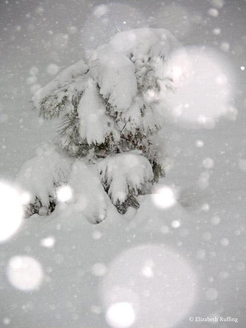 Little pine tree sagging under the snow