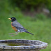American Robin and Bird Bath (blurred motion, digital creative effect)