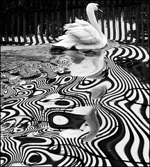 Psychedelic Swimmer (adrians_art) Tags: bw abstract male water monochrome birds reflections wings patterns flight feathers cob railings muteswan