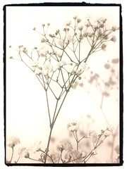 math is beauty, beauty sometimes is math (pomarc) Tags: light white flower tree glow peaceful happiness math iphone gipsofila selfsimilarity