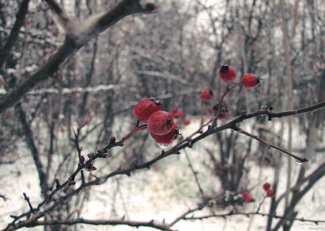 tashkent2011-red-winter