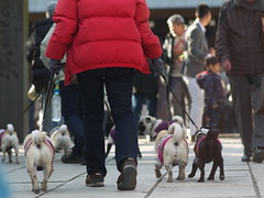 Dogs (kasa51) Tags: street people lumix shrine f14 85mm pug newyear panasonic 犬 散歩 横浜 新年 正月 初詣 gf1 samyang stphotographia