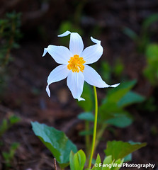Avalanche Lily (Feng Wei Photography) Tags: travel wild summer wallpaper usa white flower color nature floral beautiful beauty washington nationalpark flora scenery colorful pretty lily background scenic blurred mountrainier mountrainiernationalpark delicate blooming avalanchelily erythroniummontanum