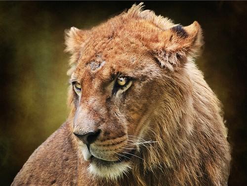[フリー画像] 動物, 哺乳類, ネコ科, ライオン, 201101111100