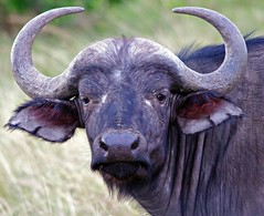 Cape Buffalo (masaiwarrior) Tags: showroom soe membersonly wildernesstrails musictomyeyes autofocus coth youlookinatme inyourdreams supershot thegalaxy this1 mywinners catandmoose artmix shieldofexcellence theunforgettablepictures betterthangood goldwildlife goldstarawards thebestshot naturespotofgold kenya2010 worldnatureandwildlifegroup artofimages universeofnature magicuniverse natureoftheworldunlimited naturesprime winnerstop ilovemyfriendspic mygearandme mygearandmepremium mygearandmebronze ringexcellence blinkagain mmartisticphotos photographyforrecreation allnaturesparadise amazingwildlifephotography 5wonderwall lartedellanatura aboveandbeyondlevel1 energiapositiveanimal allofnatureswildlifelevel1 allofnatureswildlifelevel3 allofnatureswildlifelevel4 allofnatureswildlifelevel5 allofnatureswildlifelevel8 allofnatureswildlifelevel6 allofnatureswildlifelevel7 allofnatureswildlifelevel9 aboveandbeyondlevel2 rememberthatmomentlevel4 louisesanimalgallery rememberthatmomentlevel1 sunrays5 rememberthatmomentlevel2 rememberthatmomentlevel3 rememberthatmomentlevel5 rememberthatmomentlevel6