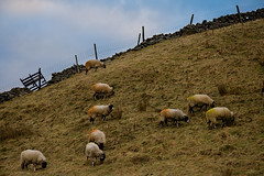 Sheep on a hill (SamKirk9) Tags: trees mist misty fog stone wall canon fence landscape countryside view sheep yorkshire fells moors stonewall 1785mm dales yorkshiredales hawes wensleydale samkirk mooreland 400d apperset samkirk9
