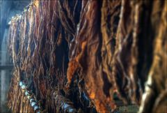 drying tobacco leafs