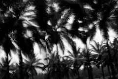 PALM OIL PLANTATION (skaRoller) Tags: life costarica surf waves swell puravida blackwhitephotos
