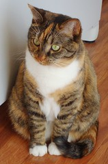 Gracie 13 December 2010 (edgarandron - Busy!) Tags: cats cute cat gracie tabby kitty kitties tabbies patchedtabby