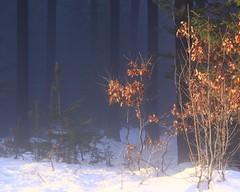 (:Linda:) Tags: mist snow tree forest germany woods village thuringia oaktree spruce conifer eiche nadelbaum konifere brden eichenbaum koniferenimwinter coniferinsnow