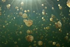 _DSC4793 lrws (gerb) Tags: topv111 1025fav 510fav ilovenature topv555 topv333 jellyfish underwater snorkel topv1111 topv999 fisheye pi sunburst topv777 d200 palau tvp aquatica 105mmf28gfisheye