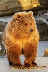 Kodiak Grizzly/Brown Bear Cub (AlaskaFreezeFrame) Tags: bear winter alaska cub grizzly kodiak soloreflex