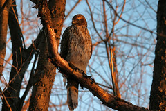 coopers hawk at dusk