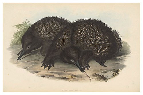 003-Oso hormiguero espinoso-The mammals of Australia 1863-John Gould- National Library of Australia Digital Collections