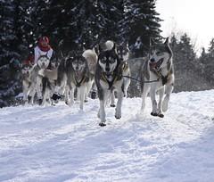 La joie de la course (Larch) Tags: winter dog chien mountain snow france alps race montagne alpes energy hiver energie joy course neige musher 74 joie sleddog hautesavoie notmydog 2011 rhnealpes lagrandeodysse chiendetraneau oltusfotos leprazdelys grandeodysse2011