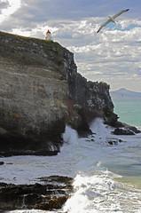 Albatross Colony, Otago, NZ (Flying Kiwi) Tags: otago albatross top20nz