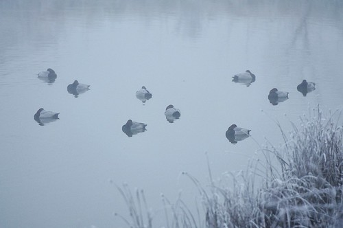foggy pochard