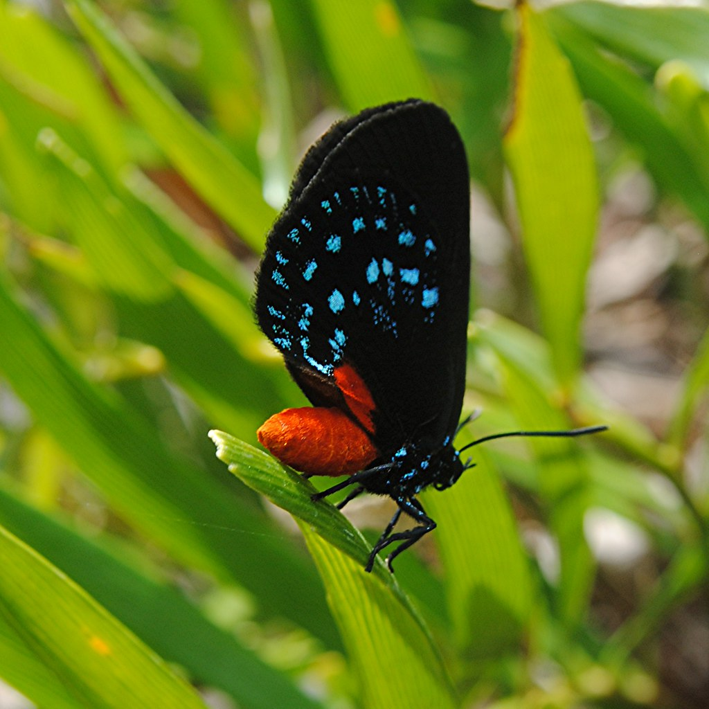 A rare find... the glorious colors of the almost extinct Atala butterfly