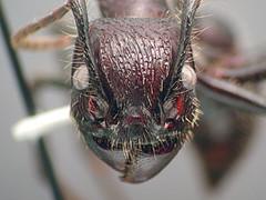 Bullet Ant (Paraponera clavata) female, Ecuado...