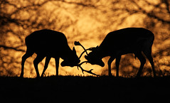 Sunset Duel (Dan Belton ( No Badger Cull )) Tags: uk winter sunset male nature animal silhouette mammal fight leicestershire wildlife january deer antlers males fighting buck bucks fallow damadama palmate