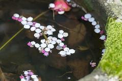 Dazaifu floating flowers (MirrorlessvsD-SLR2) Tags: plant flower japan zeiss spring nikon cloudy apo lakeside f2 fullframe fukuoka 135mm sonnar zf2 d800e acr83