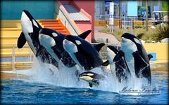 Orca Family (orcamel30) Tags: show family famille animal familia jump nikon image dolphin picture val killer whales orca 55 behavior valentin dauphin antibes magnifique marineland freya saut moana entrainement spectacle biot baleine keijo orque soigneur inouk 55300 wikie comportement d5200