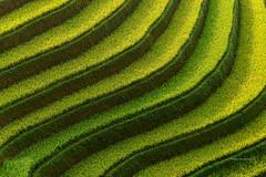 Line of field,Vietnam (SaravutWhanset) Tags: vietnam ricefields thailand travel traditional terracerice terrace light landscape asia asian exploer explore