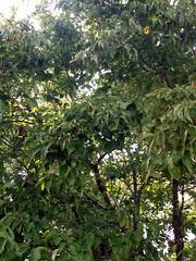 Trees. (dccradio) Tags: lumberton nc northcarolina robesoncounty afternoon walk outdoors tree trees greenery leaves leaf sky