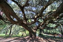 Cdre pleureur bleu de l'Atlas (b.montecot) Tags: arbre plus beau 2015 lu cdre pleureur bleu atlas arboretum chatenay malabry valle aux loups chtenaymalabry